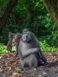 Macaque crêté de Sulawesi de mâle alpha image libre de droits
