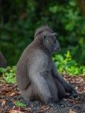 Macaque crêté de Sulawesi de mâle alpha photographie stock libre de droits