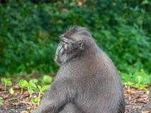 Macaque crêté de Sulawesi de mâle alpha photos libres de droits