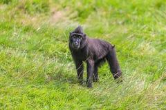 Macaque crêté noir Photos libres de droits