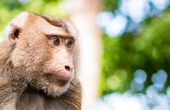 Macaque Crab-eating, Macaca fascicularis, portrait of wild monkey Thailand looking to the left on the right with copy spase on a b Royalty Free Stock Images