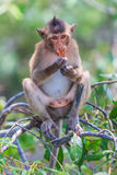 Macaque or Crab-eating macaque Stock Photo