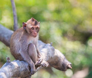 Macaque or Crab-eating macaque Stock Image