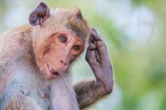 Macaque or Crab-eating macaque Stock Photos