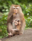 Macaque Cub. Macaque with her cub Stock Photo