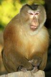 Macaque d'Assam image stock