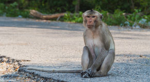 macaque da Longo-cauda Fotos de Stock
