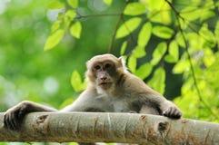 Macaque dans la nature Photographie stock libre de droits