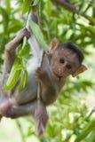 Macaque dans un arbre Images stock