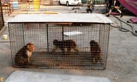 Macaque dans une cage Photographie stock libre de droits