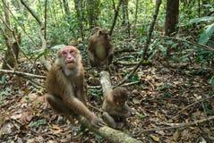 Macaque de Assam Fotos de Stock