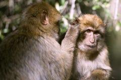 Macaque de Barbarie Image stock