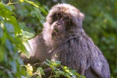 Macaque de Barbarie Photo libre de droits