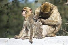 Macaque de Barbarie Images stock