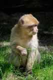 Macaque de Barbarie Photographie stock