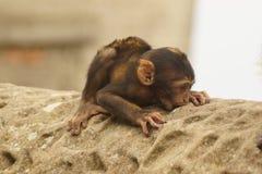 Macaque de Barbarie de bébé sur la roche Images libres de droits