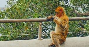 Macaque de Barbarie du Gibraltar banque de vidéos
