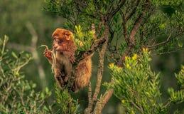 macaque de Barbarie Gibraltar Image stock