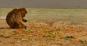 Macaque de Barbarie sur le Gibraltar banque de vidéos