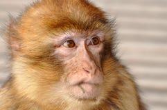 Macaque de Barbarie (sylvanus de Macaca) Photographie stock