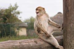 Macaque de Barbary   Fotografía de archivo