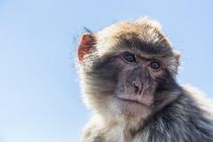 Macaque de Barbary Fotos de Stock