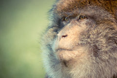 Macaque de Barbary Fotos de Stock Royalty Free