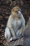Macaque de Barbary Foto de Stock