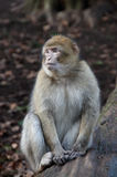 Macaque de Barbary Fotos de Stock