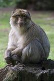 Macaque de Barbary imagem de stock