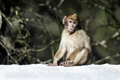 Macaque de Barbary Fotografia de Stock Royalty Free