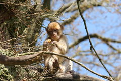 Macaque de Barbary fotografía de archivo libre de regalías