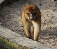 Macaque de Barbary Fotos de archivo libres de regalías