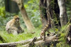 Macaque de Barbary con el bebé Foto de archivo