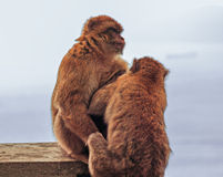 Macaque de Barbary en Gibraltar Imagen de archivo