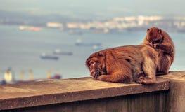 Macaque de Barbary en Gibraltar Foto de archivo libre de regalías