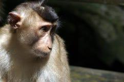 Macaque de Borneo foto de archivo