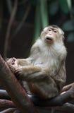 Macaque de capo foto de archivo libre de regalías