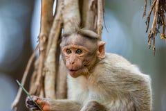 Macaque de capo imagen de archivo libre de regalías