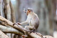 Macaque de capo imagenes de archivo