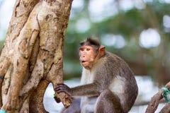 Macaque de capo fotografía de archivo