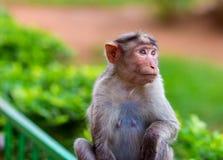Macaque de capo fotos de archivo