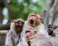 Macaque de capo fotografía de archivo libre de regalías