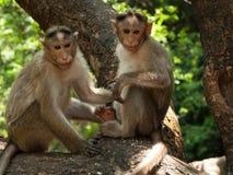 Macaque de capo Foto de archivo