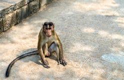 Macaque de capo en la isla de Elephanta cerca de Bombay en la India fotografía de archivo