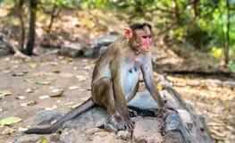 Macaque de capo en la isla de Elephanta cerca de Bombay en la India imagenes de archivo