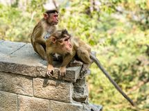Macaque de capo en la isla de Elephanta cerca de Bombay en la India imagen de archivo libre de regalías