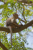 Macaque de capo que sienta un árbol fotografía de archivo