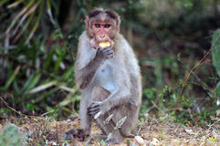 Macaque de capot Photo stock