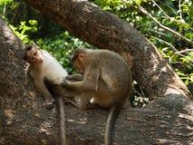 macaque de capot Photographie stock
